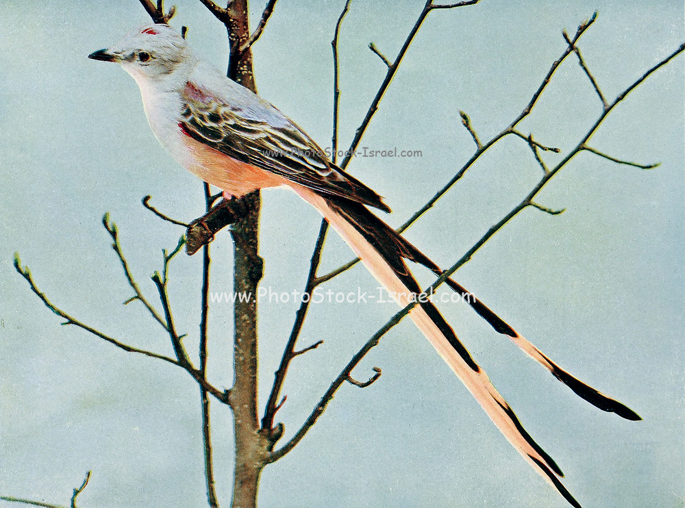 The scissor-tailed flycatcher (Tyrannus forficatus), also known as the Texas bird-of-paradise and swallow-tailed flycatcher, is a long-tailed bird of the genus Tyrannus, whose members are collectively referred to as kingbirds. The kingbirds are a group of large insectivorous (insect-eating) birds in the tyrant flycatcher (Tyrannidae) family. The scissor-tailed flycatcher is found in North and Central America. From Birds : illustrated by color photography : a monthly serial. Knowledge of Bird-life Vol 1 No 5 May 1897