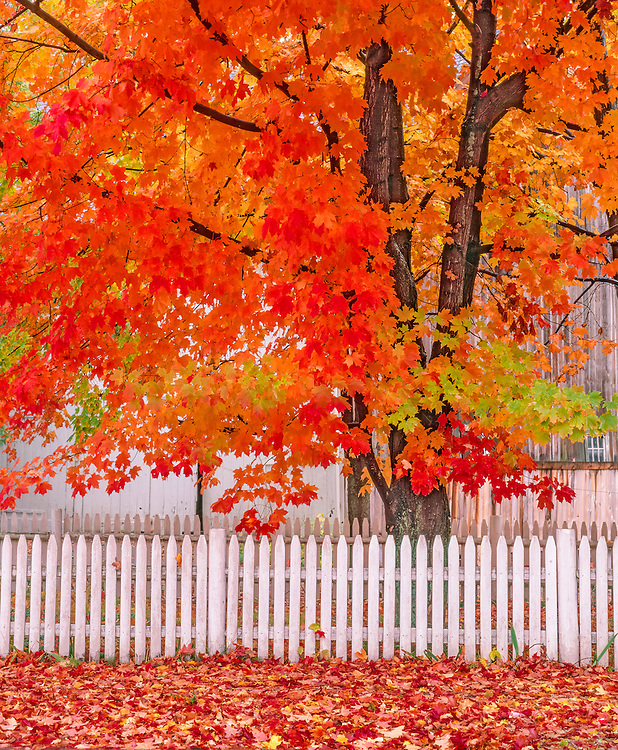 Sugar Maple tree dressed in brilliant fall foliage, white picket fence & red leaves on ground, Groton, MA