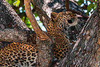 Leopard sleeping in a tree, Kwando Concession, Linyanti Marshes, Botswana.