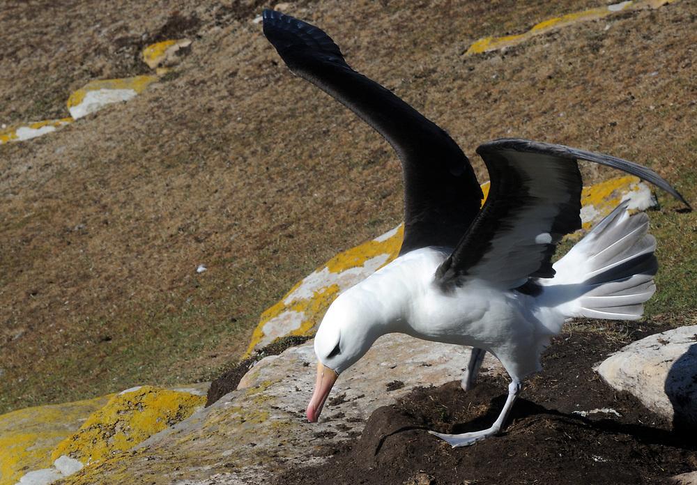 A black-browed albatross (Thalassarche melanophris) comes into land on its  pot-shaped nest. Saunders Island, Falkland Islands. 15Feb16