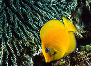 Blue Tang, juvenile (Acanthurus coeruleus). Saba