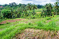 Bali, Gianyar, Bedulu. Rice fields ready to be planted after irrigation. One year has 3 harvests, 2 with rice and 1 with sweet potatoes or something else. This will fertilize the soil and give it the necessary rest.