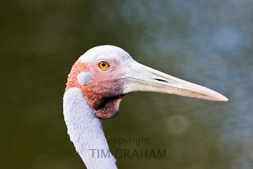 Brolga, Queensland, Australia