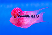 """A hybrid of several Middle American cichlide species knowwn in China as """"Flower Horn"""". Photo from gold Fish Marked, Hong Kong."""