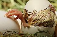 """Chicken, Gallus gallus domesticus, cracked egg shell, the top of the egg lies on the chick. The visible feathering is still wet. A foot looks out. The chick inside the egg picks the shell in a circle around the egg, until the top flies off. A hen lays 250-300 eggs in a year, if the eggs taking away. Hens, which hatching chicks, laying considerably less. breeding time takes 21 days. Chicken are precocial animals. This picture is part of the series """"Escape into life""""..Haushuhn, Gallus gallus domesticus, die Eierschale ist rundherum aufgebrochen, der obere Teil sitzt als Deckel noch auf dem Küken. Ein Fuß schaut schon aus dem Ei hervor. Das schon sichtbare Gefieder ist noch feucht. In einem Kreis, rund um das Ei wird die Schale von dem Küken von innen aufgehackt, bis der Deckel abspringt. Eine Henne legt im Jahr 250-300 Eier, wenn sie ihr weggenommen werden. Hennen, die ihre Küken ausbrüten können, legen erheblich weniger. Die Brutdauer beträgt 21 Tage. Hühner sind Nestflüchter. Diese Bild ist Teil der Serie ,,Ausbruch ins Leben""""."""