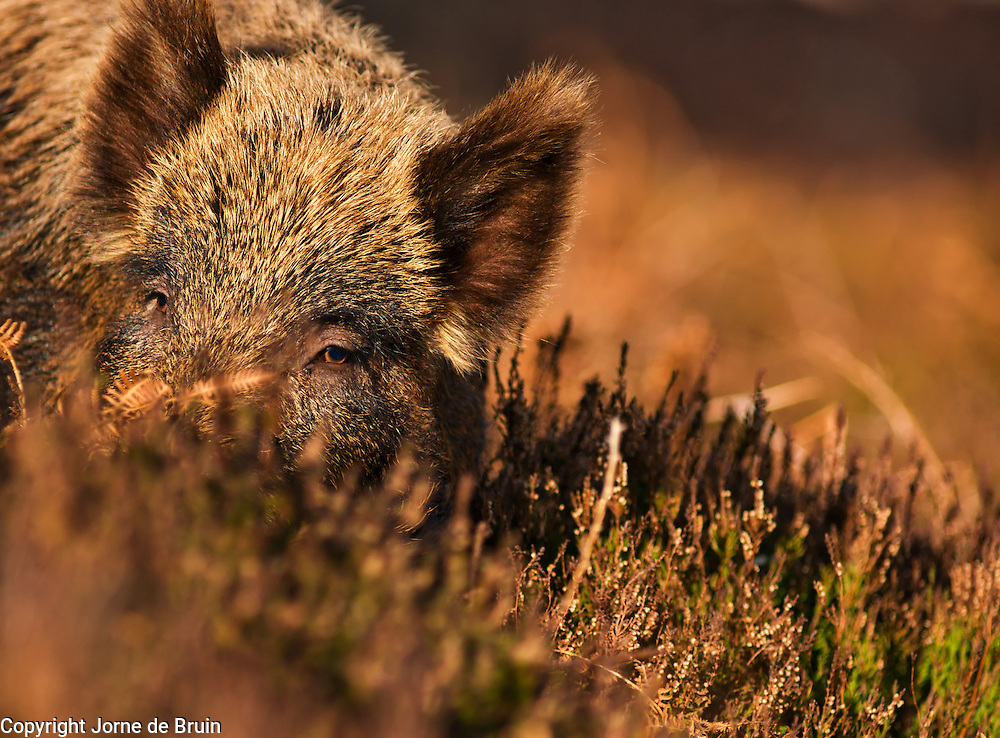 A Wild Boar is standing in the heather of the scottish highlands in the Alladale Reserve