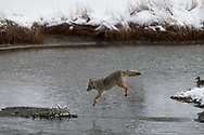 A coyote begins the descent while leaping a stream along the Madison River, Yellowstone