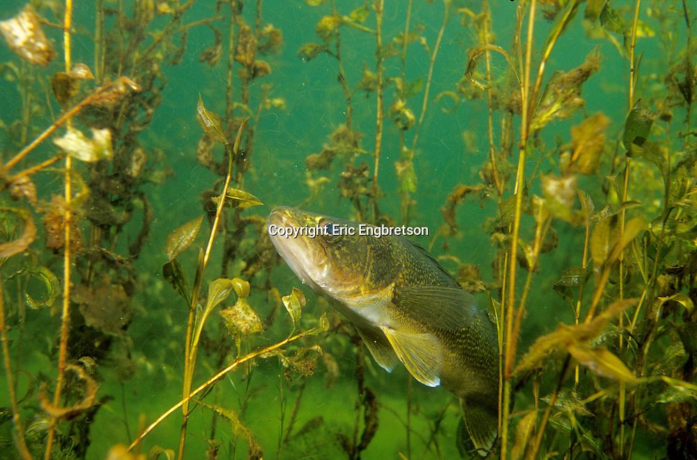 Walleye in weedy cover<br /> <br /> ENGBRETSON UNDERWATER PHOTO