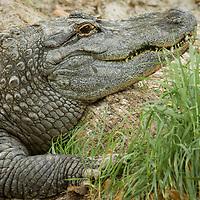 Alligator mississippiensis, captive