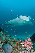 reef manta ray, Manta alfredi (formerly Manta birostris ), being cleaned by moon wrasses, Thalassoma lunare, and blue-streak cleaner wrasses, Labroides dimidiatus, at patch reef with hard and soft corals, Sunlight Thila, Lankan, North Male Atoll, Maldives ( Indian Ocean )