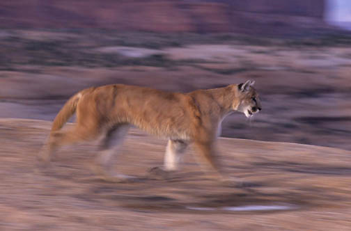 Mountain Lion or Cougar, (Felis concolor) Running. Canyonlands of southern Utah. Captive Animal.