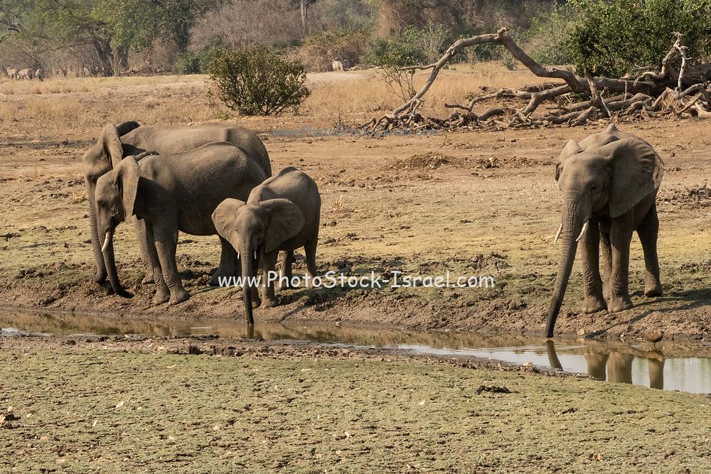 A herd of African Bush Elephants. Photographed at Lake Kariba, Zimbabwe