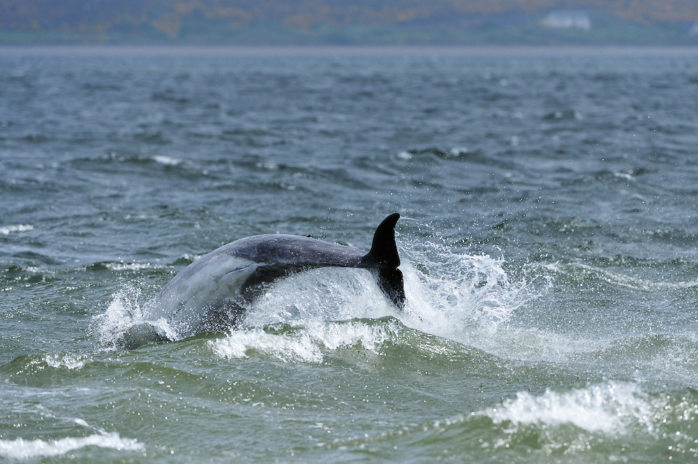 Bottle-nosed Dolphin breaching,<br /> Tursiops truncatus,<br /> Moray Firth, Nr Inverness, Scotland - May
