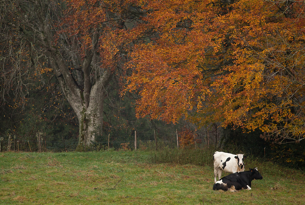 Autumn scenery with cows