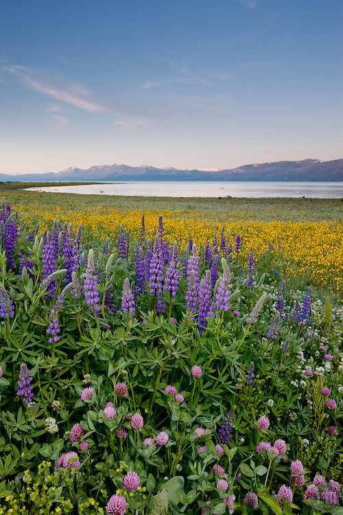 """""""Wildflowers at Lake Tahoe 2""""- These wildflowers were photographed in the early morning at Lake Forest Beach Park, Lake Tahoe."""