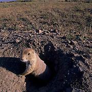 Black-tailed Prairie Dog (Cynomys ludovicians) Montana.