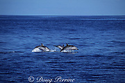striped dolphins, Stenella coeruleoalba, leaping, Azores Islands, Portugal ( North Atlantic Ocean )