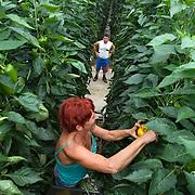 September 2009 20090901 .Een poolse arbeider plukt paprika's in kas.  .A polish woman worker at work in greenhouse, immigration.                               ..Foto: David Rozing