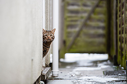 Tabby cat looking out from the doorway in an alley, Leicester, England, UK.