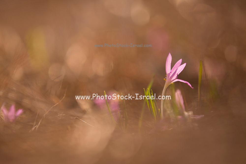Colchicum stevenii, or Steven's meadow saffron, is a species of flowering plant in the family Colchicaceae. Common names are: autumn crocus, meadow saffron and naked lady. Preparations from the roots and seeds of this plant are used to treat gout and rheumatism. They are also used as an emetic. Overdoses can lead to depression and violent purging of the gut. Photographed at the Ein Afek nature reserve, Israel