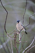 Bullfinch, female, winter<br /> *ADD TO CART FOR LICENSING OPTIONS*