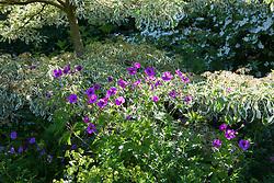 Geranium psilostemon growing around the base of  Cornus controversa 'Variegata' with Cornus 'Norman Hadden' in the background at Glebe Cottage
