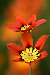 Sparaxis tricolor - Harlequin flower