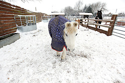 ©London News Pictures. 21/12/2010. Staff at the Redwings horse sanctuary in Warwickshire are busy keeping the 67 horses and ponies stocked up in hay and water.  The snow has had a dramatic effect on their upkeep. Tom (pictured) delivers upto 80 buckets of water and 30 bales of hay per day to the fields on his 4x4 buggy. All  Photo credit should read Alison Baskerville/London News Pictures