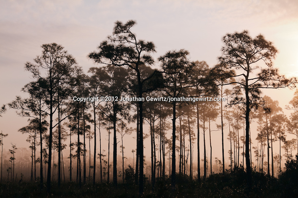 A small hammock of pine or cypress trees protrudes from early-morning fog in Everglades National Park, Florida. WATERMARKS WILL NOT APPEAR ON PRINTS OR LICENSED IMAGES.