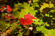 A red maple leaf against green leaves during the autumn foliage season in the Blue Ridge National Park outside Asheville, North Carolina.