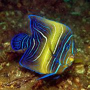 Semicircle Angelfish inhabit reefs. Picture taken Komodo, Indonesia.