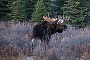 A bull Alaskan moose calls out for a female during the autumn rut in Denali National Park, McKinley Park, Alaska.