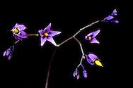 France, languedoc Roussillon, Gard (30), Cevennes, fleur de Morelle douce-amère, N.L.: Solanum dulcamara, (Solanacées)