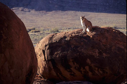 Mountain Lion or Cougar, (Felis concolor) Adult sitting in canyon. Moab, Utah. Red rock country. Captive Animal.