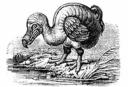 Dodo - Raphus cucullatus, formerly Didus ineptus, extinct flightless bird from Madagascar. First observed by Portuguese sailors in about 1507, by 1681 the Dodo was extinct due to a combination of circumstances including killing for food by men, introduction of animals such as the rate, and the destruction of habitat.  Wood engraving 1884.
