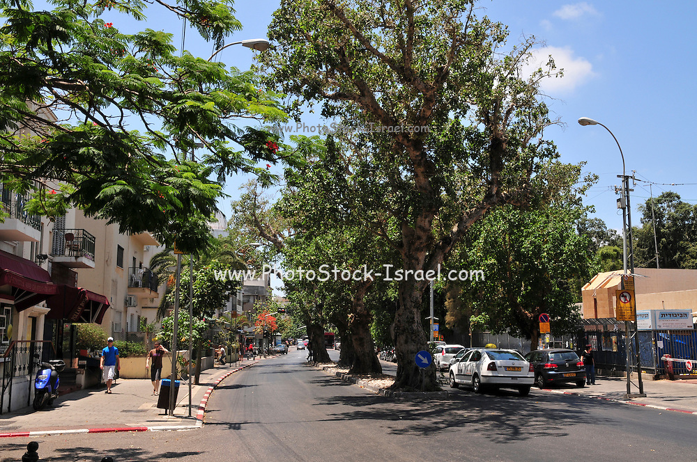 Israel, Tel Aviv, King George street, 5 ancient Sycamore trees (Ficus sycomorus) in urban environment, The Sycamore is historically one of the most important trees. It's cited in the Bible several times. The wood and figs have been used by people in Middle East for thousands of years. These trees can live for centuries.