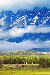 """Grazing Elk, Grand  Teton Landscape<br /> <br /> For production prints or stock photos click the Purchase Print/License Photo Button in upper Right; for Fine Art """"Custom Prints"""" contact Daryl - 208-709-3250 or dh@greater-yellowstone.com"""