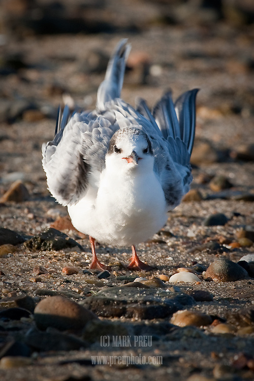 A young common tern ruffles its feathers on the shore  of Round Cove in Harwich.