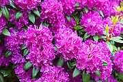 Rhododendron bush, Rhododendron ponticum  - an invasive ornamental species shrub of bright pink colour spreading widely along the West of Scotland