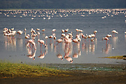 Lesser flamingo (Phoeniconaias minor) Colony of flamingos at Lake Nakuru, Kenya