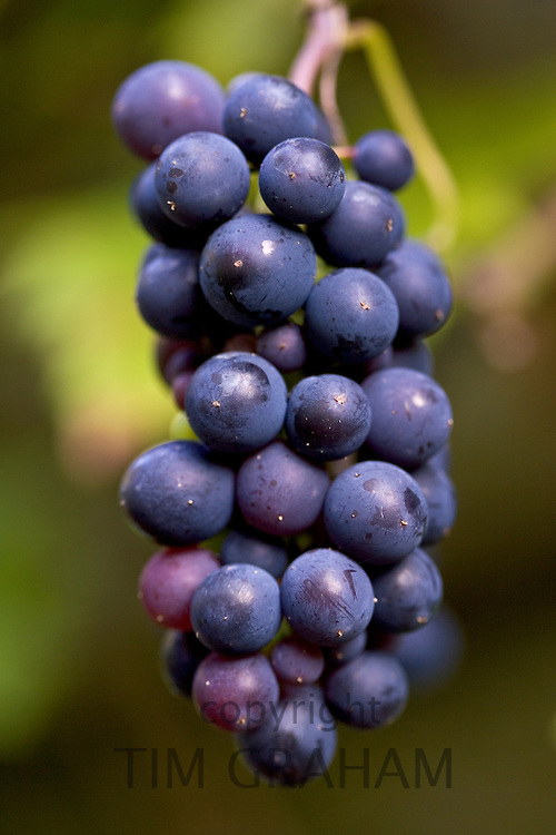 Black grapes hanging in a bunch, Oxfordshire, England