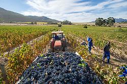March 6, 2015 - Stellenbosch, Western Cape, South Africa - Stellenbosch, South Africa - , Wine Grape harvest (Credit Image: © Edwin Remsberg/VW Pics via ZUMA Wire)
