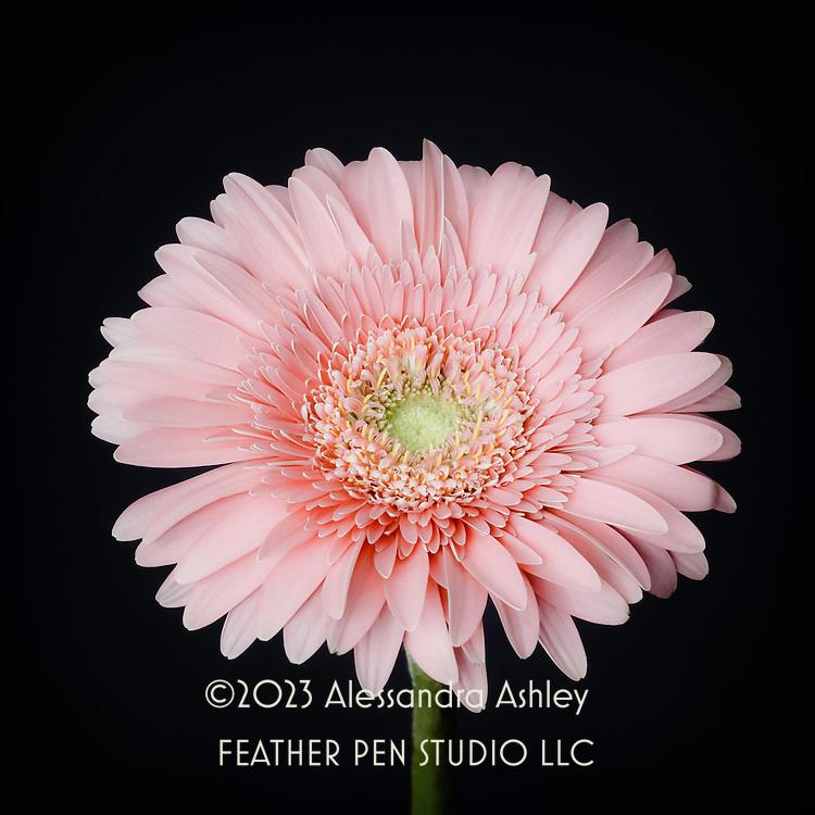 Single gerbera daisy in peach tones on dark background.