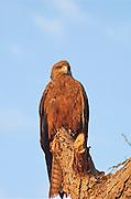 Africa, Ethiopia, Red Kite Milvus milvus