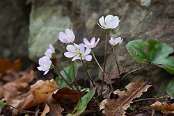 Self sown hepatica growing at the edge of a path