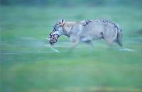 Eurasian Wolf, Canis lupus.Kuhmo, Finland
