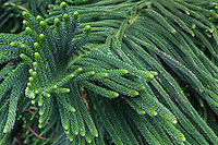 Norfolk Pine or Araucaria heterophylla is a member of the family Araucariaceae originally grown on Norfolk Island in the Pacific.  The Norfolk Pine is sometimes called a star pine or triangle tree though it is not a true pine.