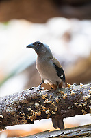 The grey treepie, also known as the Himalayan treepie, (Dendrocitta formosae) is an Asian treepie, a medium-sized and long-tailed member of the crow family. The subspecies Western grey treepie (Dendrocitta formosae himalayana) is shown.
