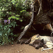 Gray Wolf, (Canis lupus) Pups resting at entrance of den. Captive Animal.