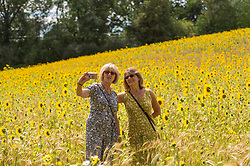 © Licensed to London News Pictures. 05/08/2020. CHORLEYWOOD, UK.  Women take a selfie amongst sunflowers on a warm, sunny day which are currently in full bloom, growing in a wheat field, near Chorleywood in Hertfordshire.  The forecast is for much temperatures exceeding 30C by the end of the week..  Photo credit: Stephen Chung/LNP